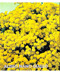Alyssum Yellow