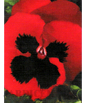 Red Pansy-INDISPON�VEL