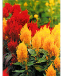 Celosia Feathered or Plumed type mixed-INDISPON�VEL