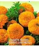 French Marigold Dwarf Orange Double