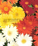 Gerbera Mixed - FL