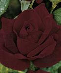 "Roseira ""Chrysler Imperial""-Out a Mar-Planta com +- 5 ramos 30cm"