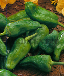 "Sweet Pepper ""del Padron"""